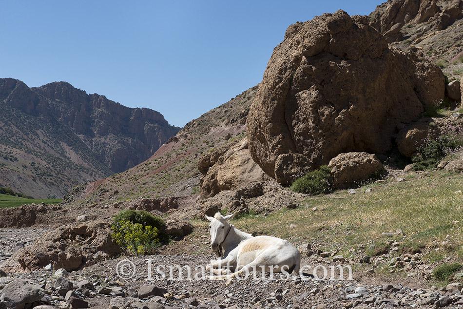 Marokko, Ikkis,  20140602. Witte muilezel ligt in de bergen. White mule laying in the mountains. Naamsvermelding verplicht; Foto: Sabine Joosten/Hollandse Hoogte