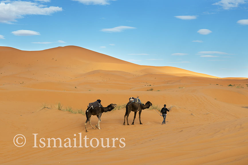 Marokko, Mhammid, 20150315. Woestijn in de lente. Fotoreis. Dromedarissen in de woestijn. Foto ; Sabine Joosten