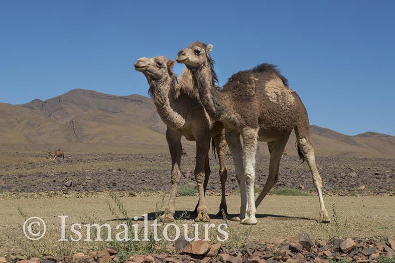 Marokko, Foum Zguid, 20150311. Dromedarissen , kudde lopen in het wild, langs en op de weg. Foto ; Sabine Joosten