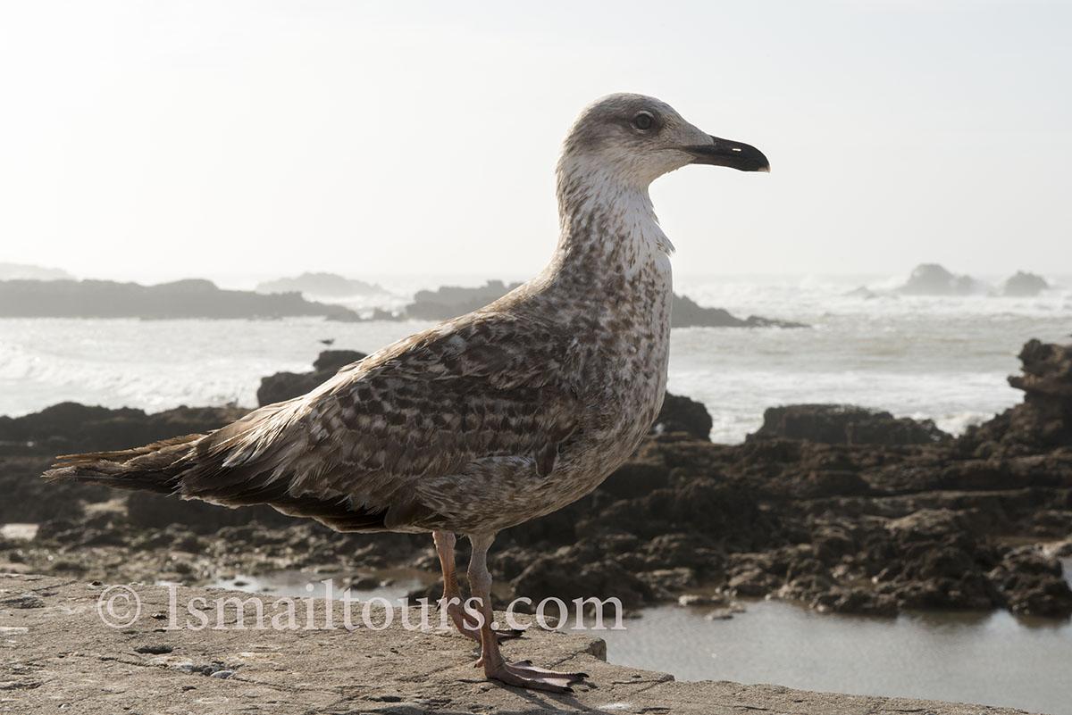 Marokko, Essaouira 20150304. Zeevogel, meeuw zit op een muurtje aan de kust. Seabird at the coast. Naamsvermelding verplicht; Foto ; Sabine Joosten/Hollandse Hoogte