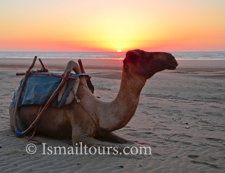 dromedaris sahara woestijn