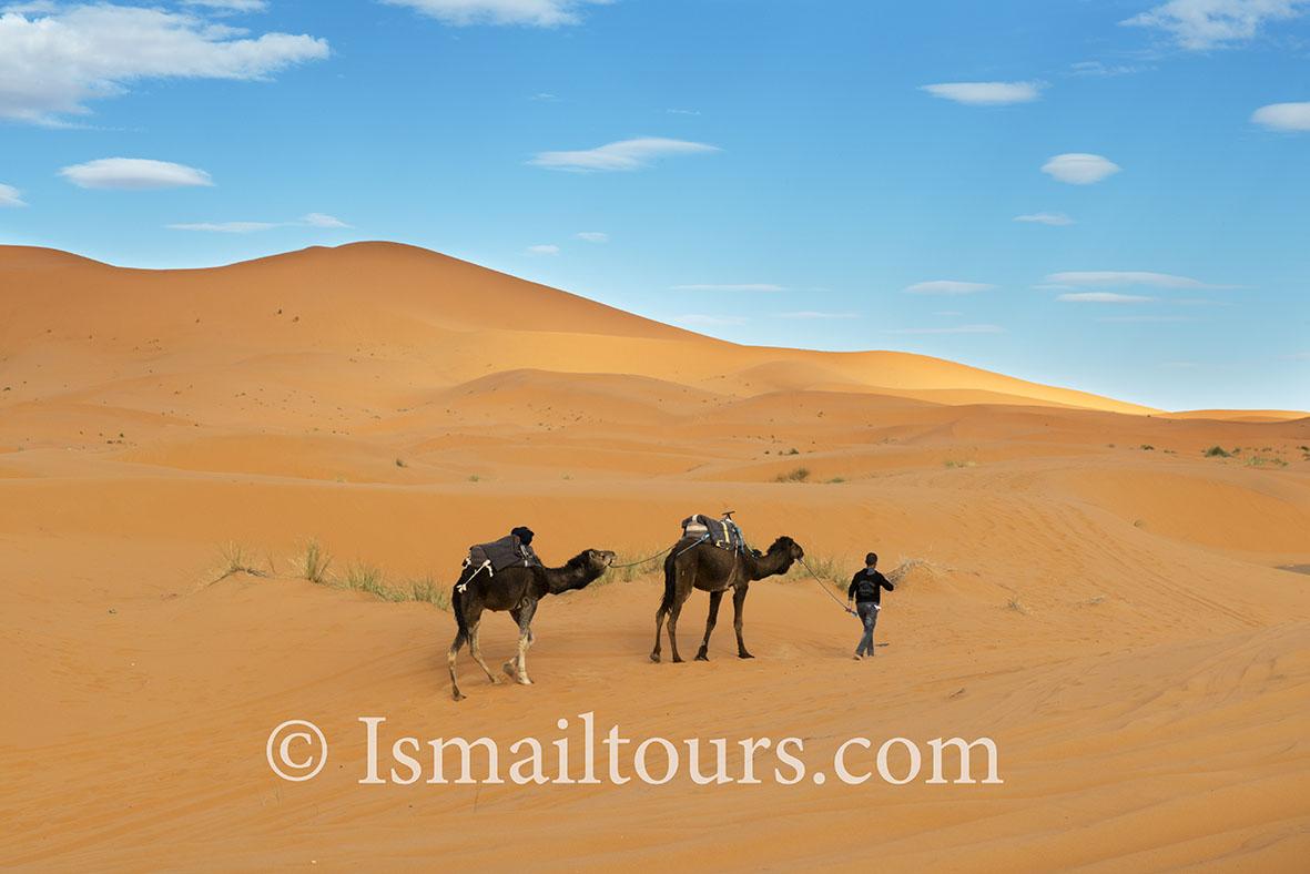Marokko, Mhammid, 20150315.  Woestijn in de lente. Dromedarissen in de woestijn. Dromedaries in the desert in springtime. Naamsvermelding verplicht; Foto ; Sabine Joosten/Hollandse Hoogte