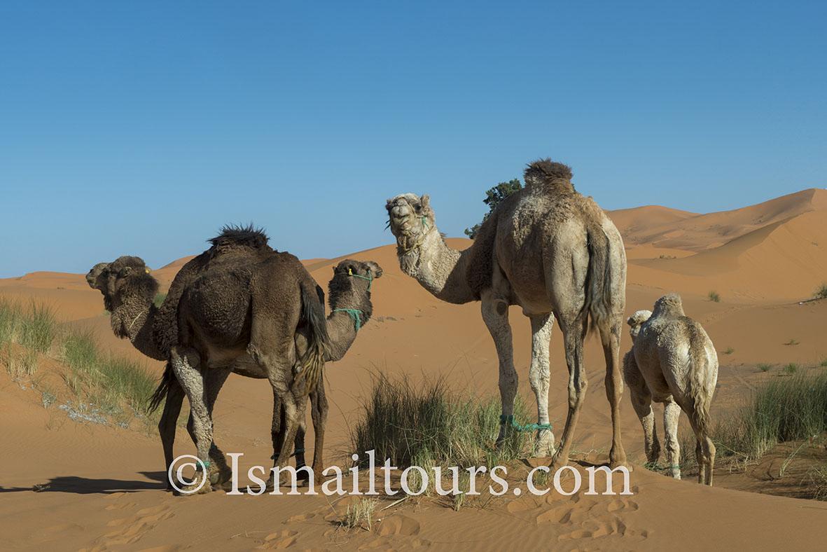 Marokko, Mhammid, 20150316.  Woestijn in de lente. Dromedarissen staan in het zand. Dromedaries into the sand. Desert in springtime. Naamsvermelding verplicht; Foto ; Sabine Joosten/Hollandse Hoogte